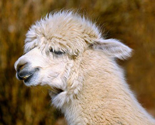 Geschenke für Lama und Alpaka Fans